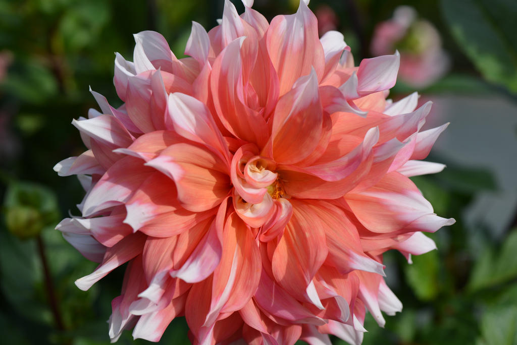 Fleur Blanche et Rose by Aneede on deviantART