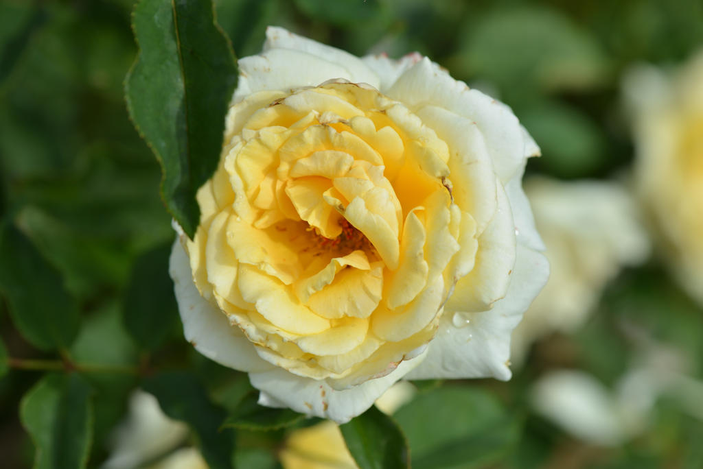 Rose Et Blanche : Rose jaune et blanche by aneede on deviantart
