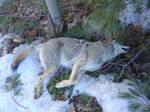 Coyote: RIP