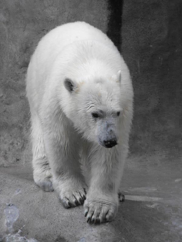 Polar Bear by ArrsistableStock