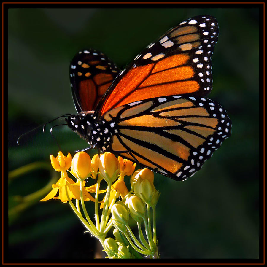 magnificent Monarch by ariseandrejoice