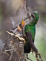 hummer feeding time by ariseandrejoice
