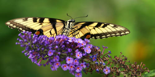 the reign of the swallowtail by ariseandrejoice