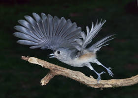 Tufted Titmouse Takes off by ariseandrejoice