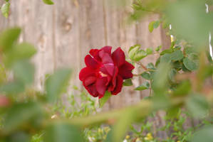 red flower by HoldFastStock