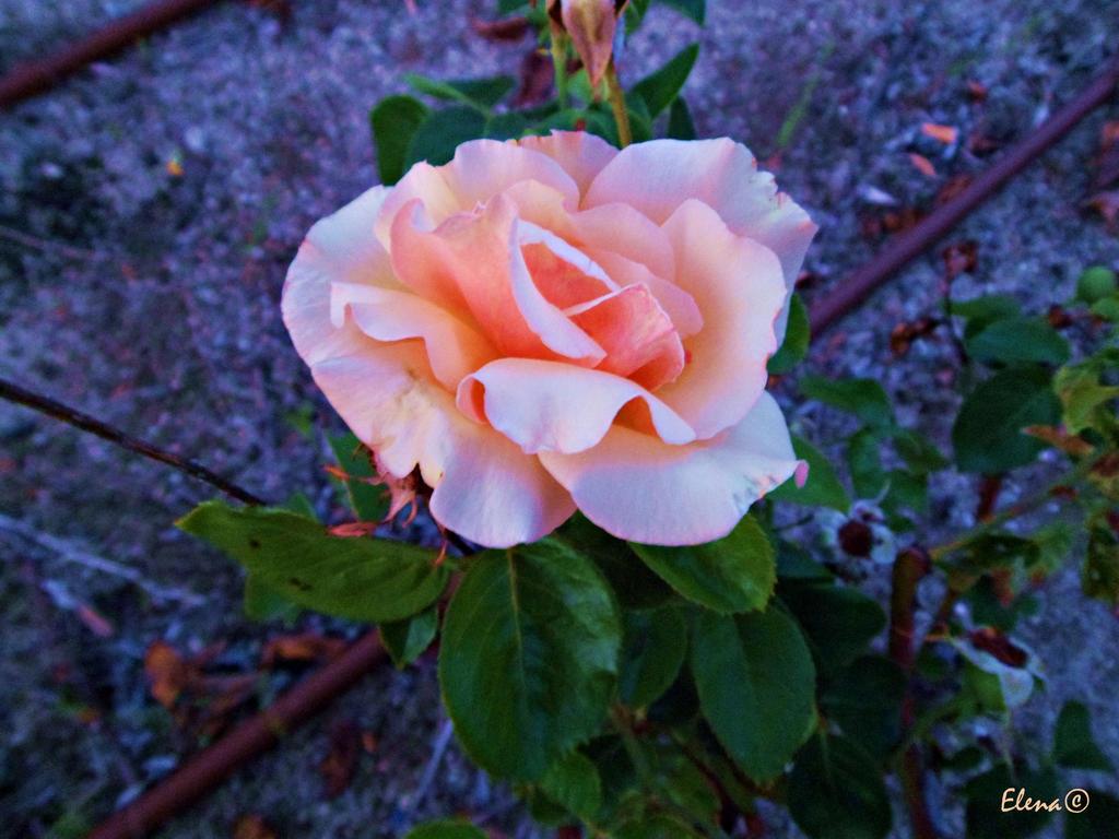 Rose by florpurpura
