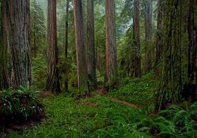 Redwoods In Rain by enunez