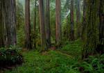 Redwoods In Rain