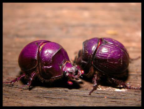 Purple beetle eaters