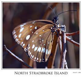 North Stradbroke Butterfly