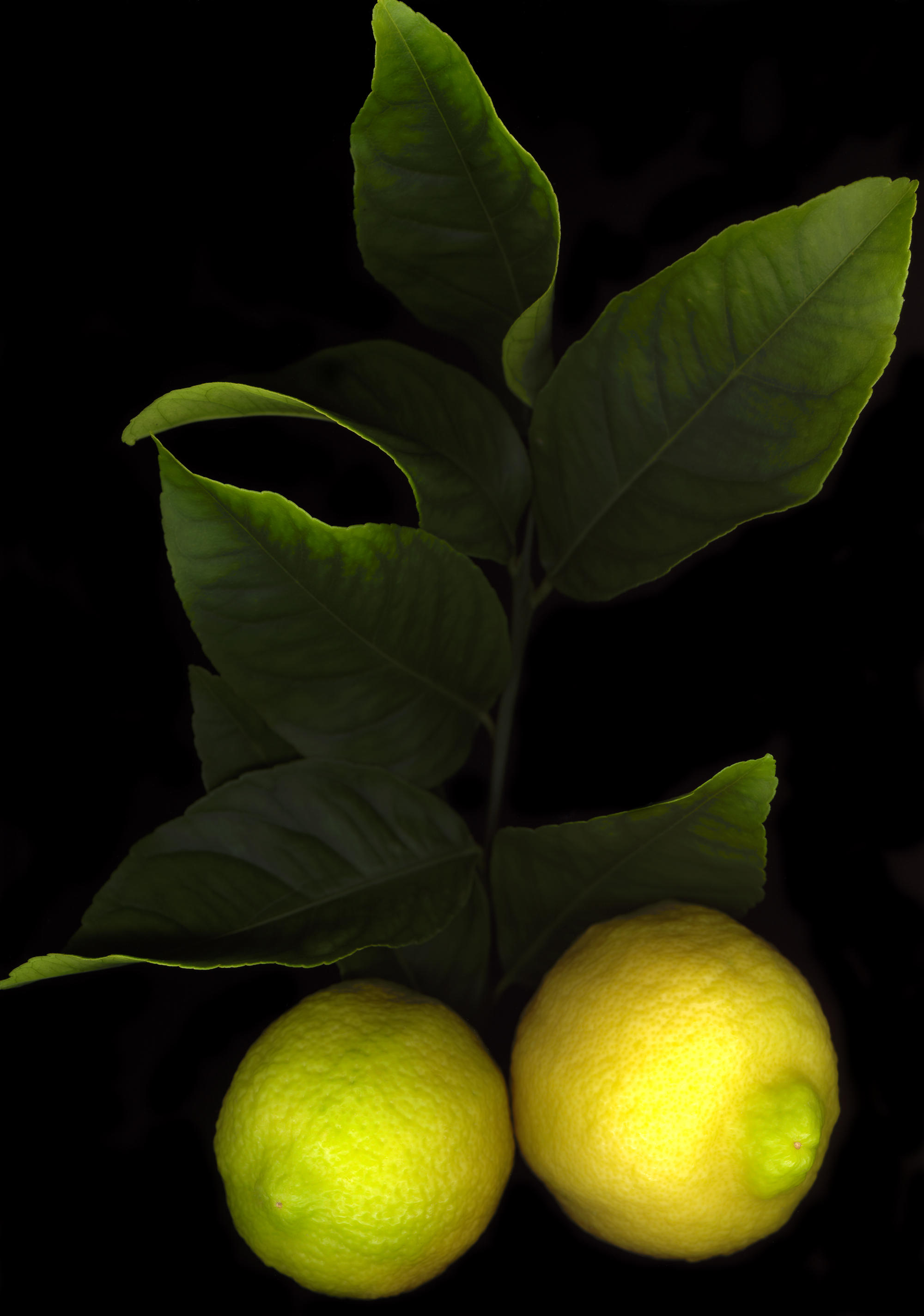 lemons by levi-stock