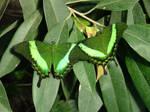 Butterflies by declicG