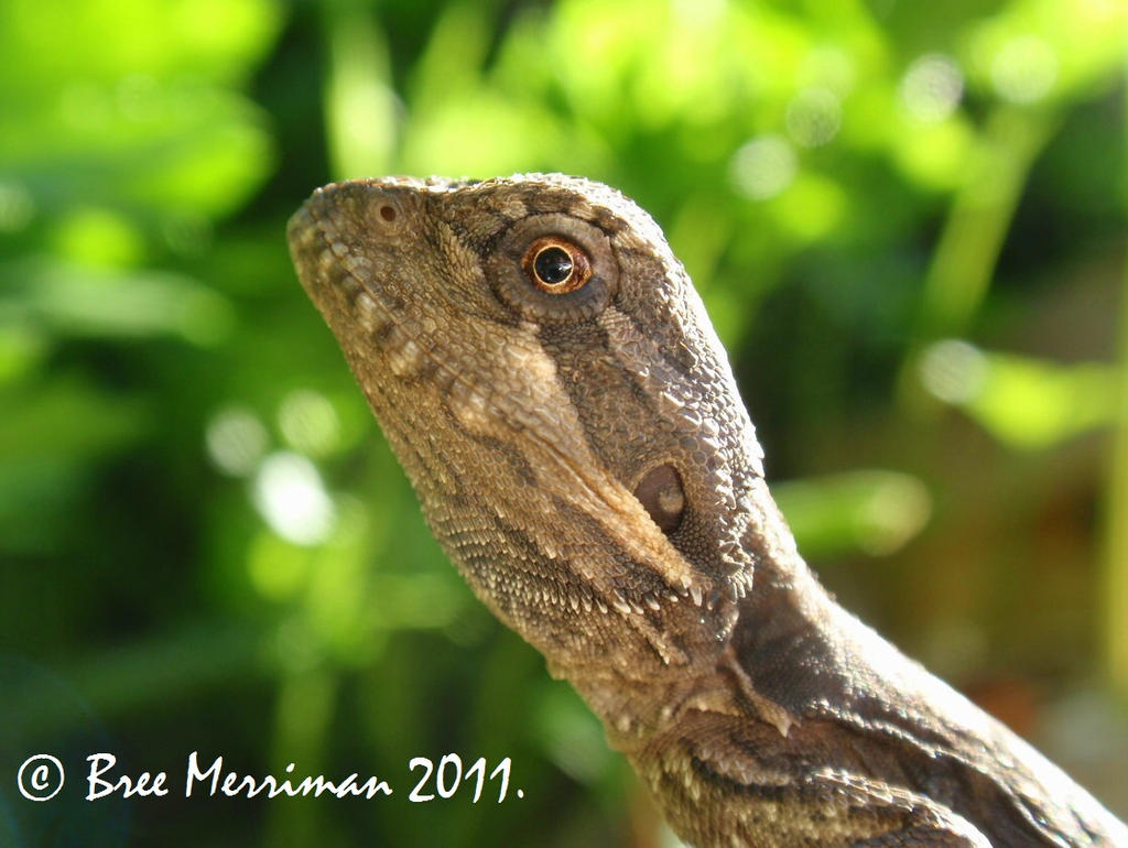 Baby Bearded Dragon II by BreeSpawn