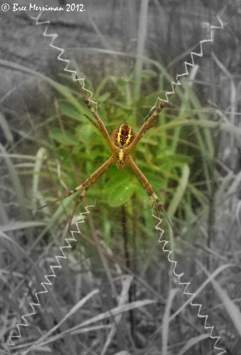 St Andrew's cross spider II by BreeSpawn