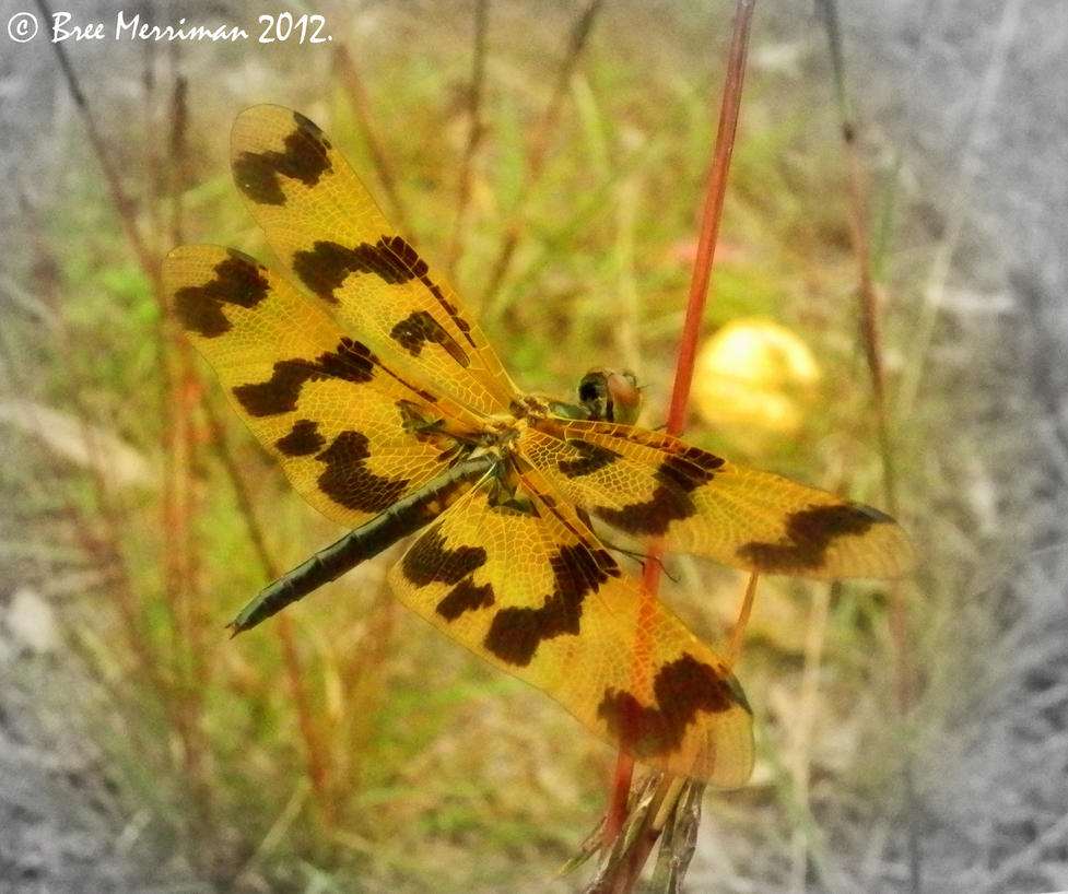 Banded Flutterer Dragonfly by BreeSpawn