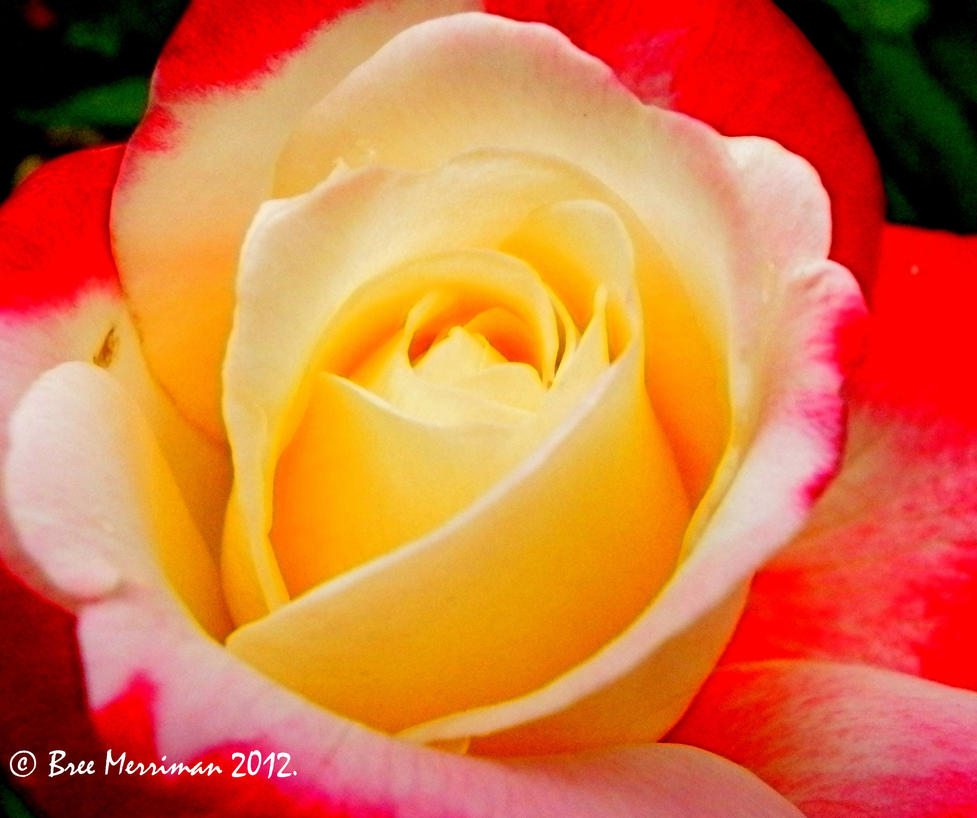 Double Delight Rose III by BreeSpawn