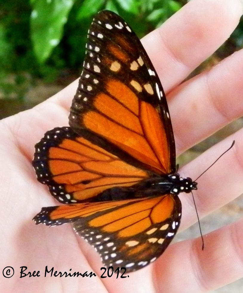 Monarch Macro II by BreeSpawn
