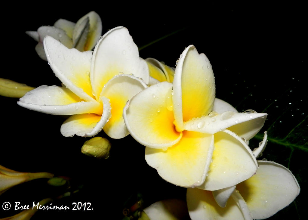 Frangipani Flower by BreeSpawn