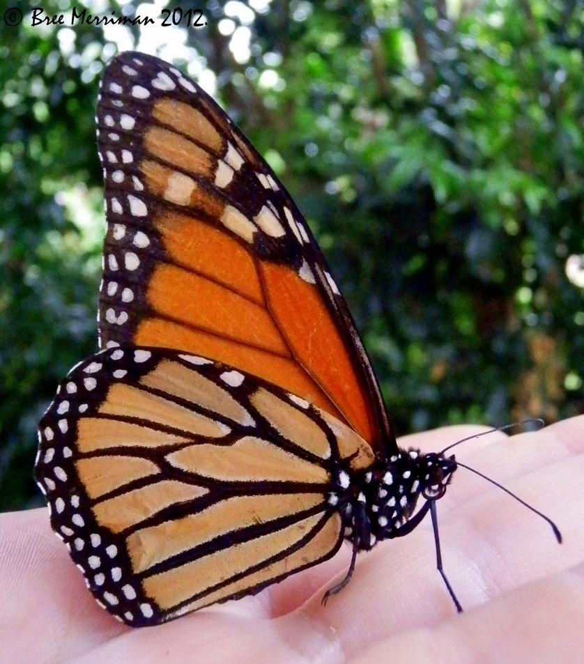 Monarch Butterfly II by BreeSpawn