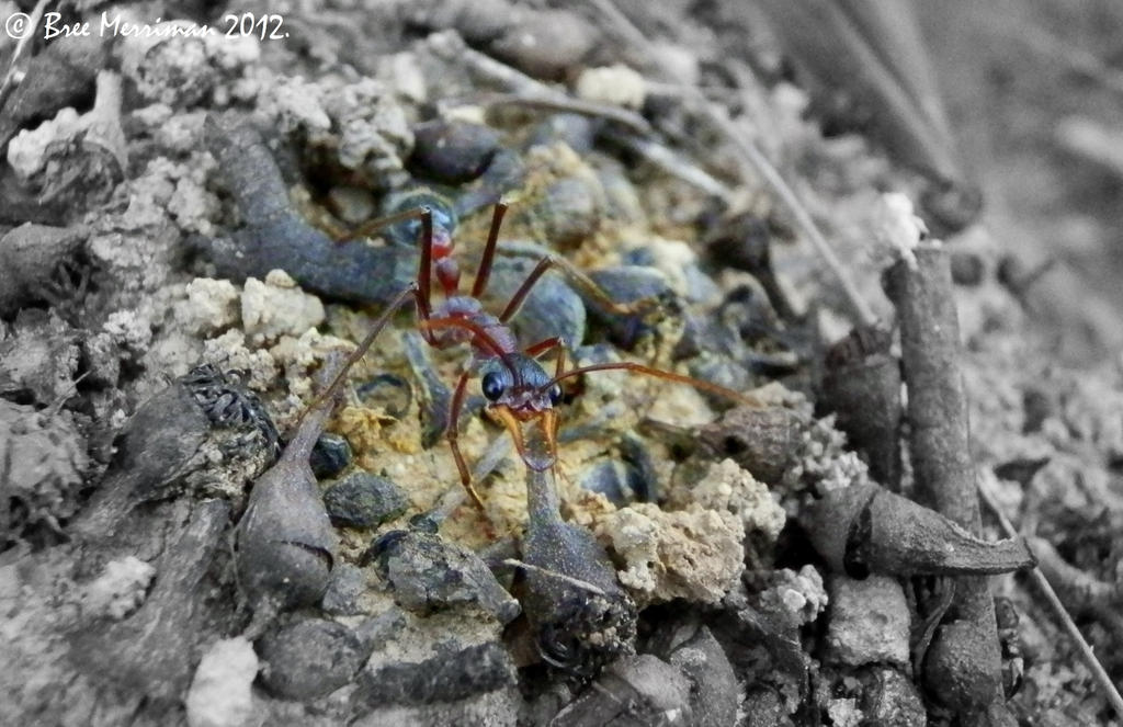 Bulldog Ant by BreeSpawn