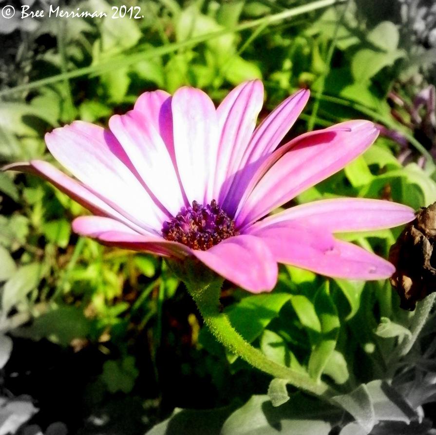 Sun Soaked Daisy by BreeSpawn