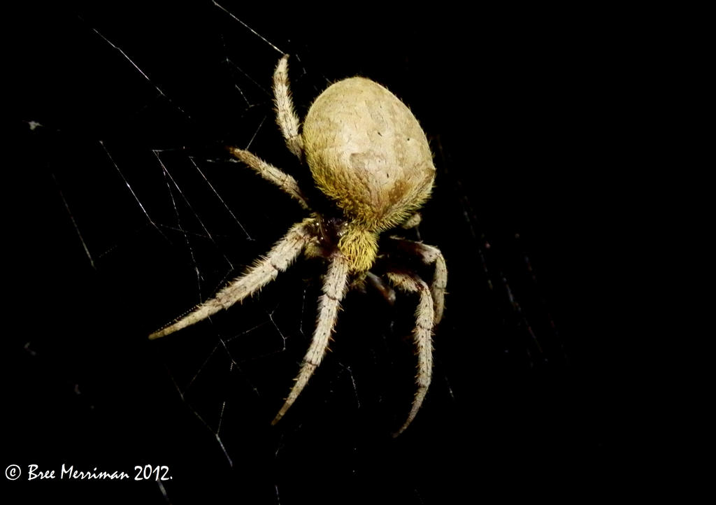 Pregnant Orb Weaver by BreeSpawn