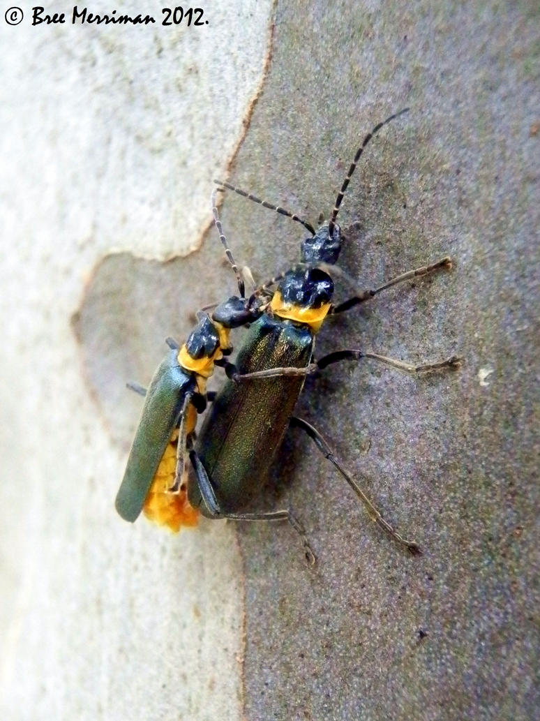 Soldier Beetles Mating by BreeSpawn