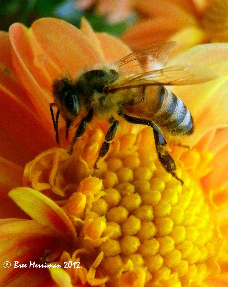 Common Honey Bee Macro III by BreeSpawn