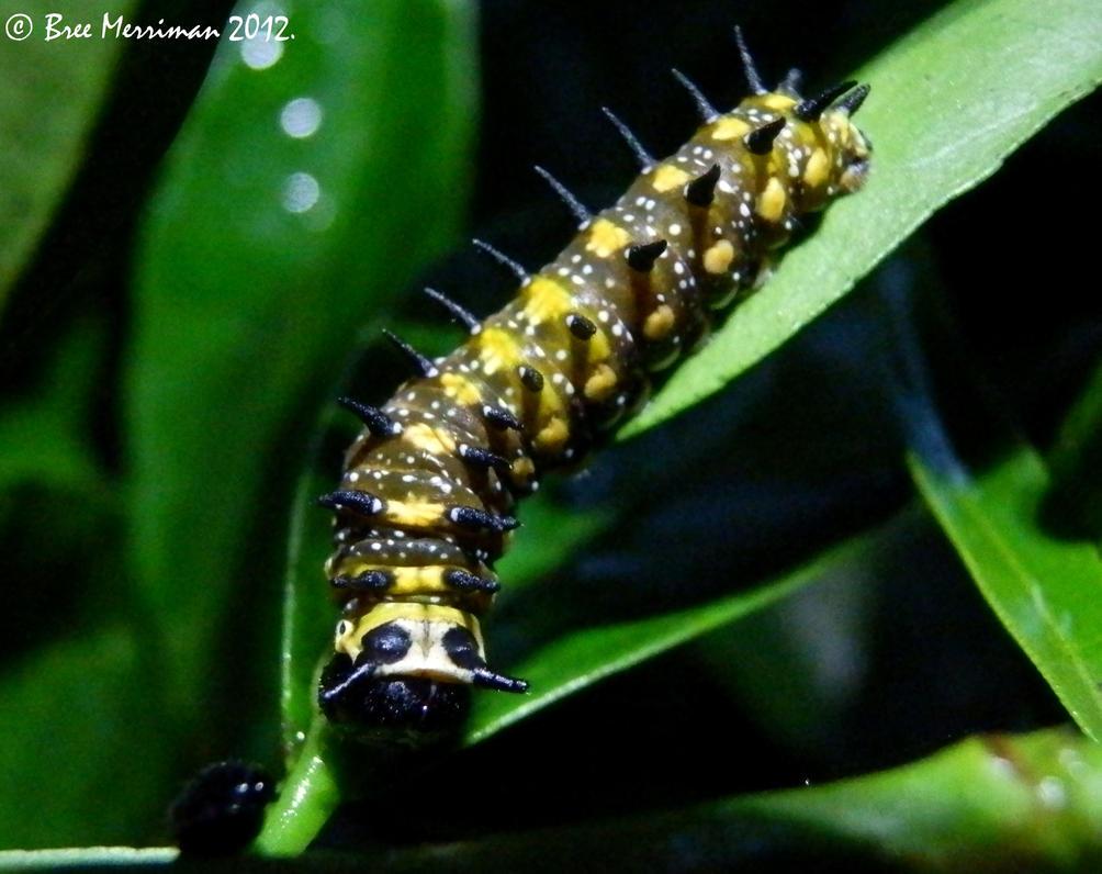 Swallowtail Caterpillar by BreeSpawn