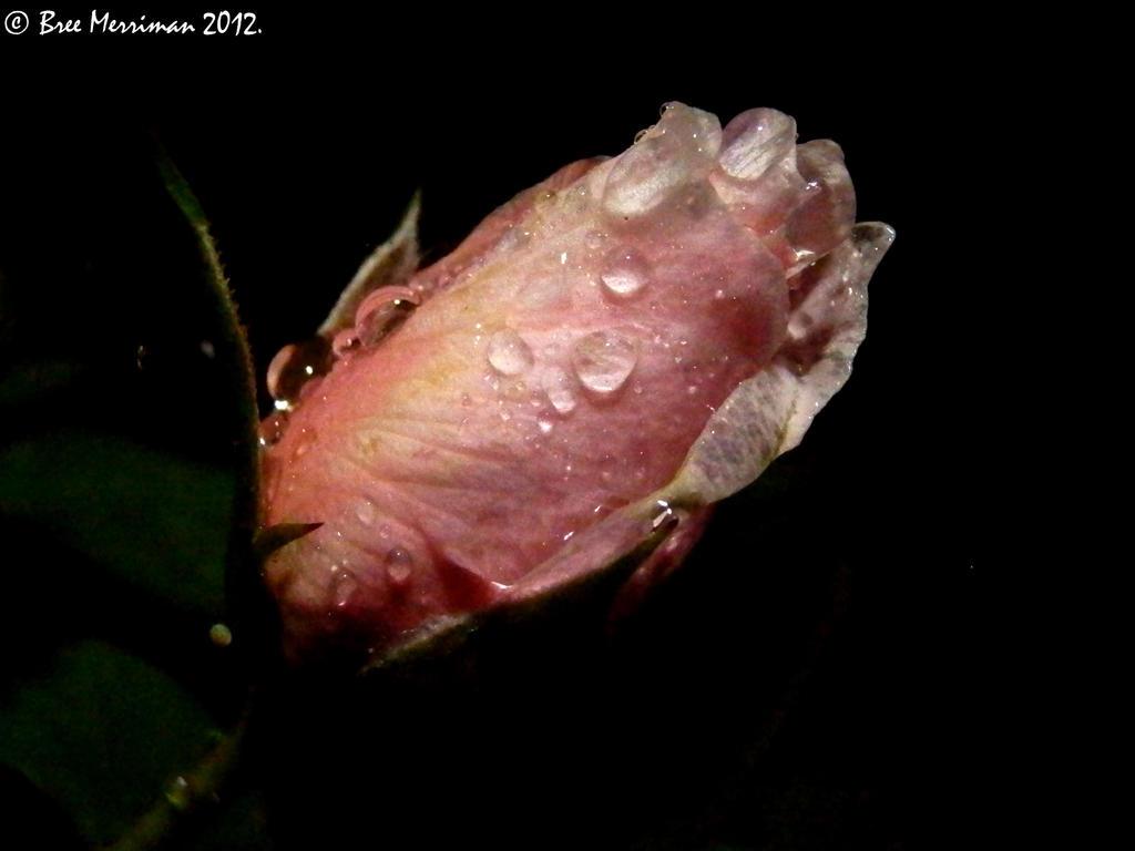 Dripping Rose II by BreeSpawn