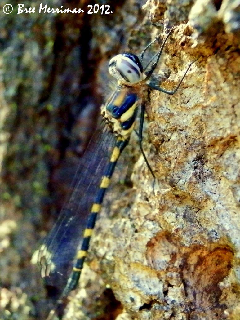 Dragonfly by BreeSpawn