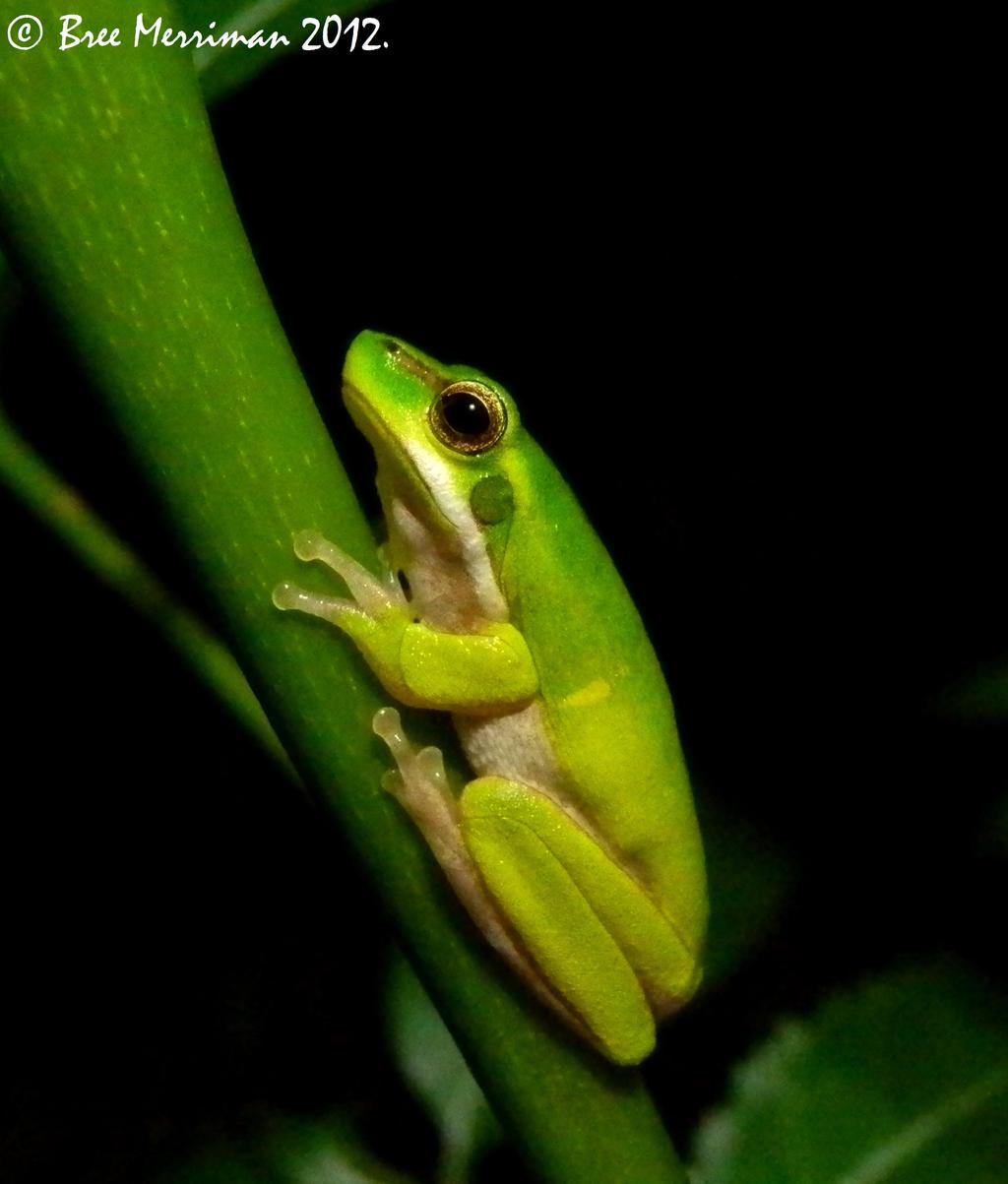 Eastern Dwarf Tree Frog II by BreeSpawn