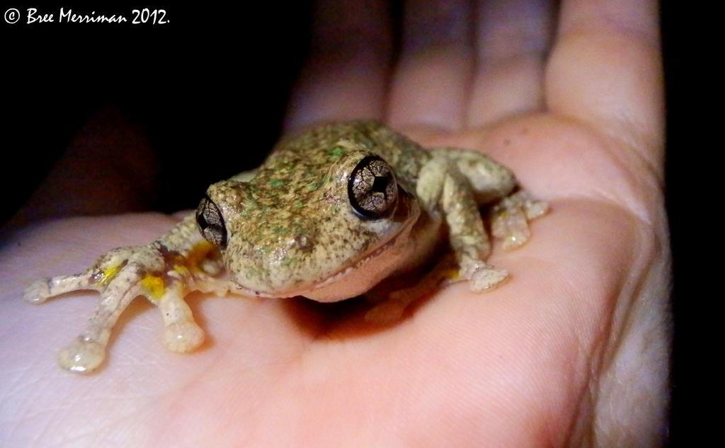 Perons Frog Macro by BreeSpawn