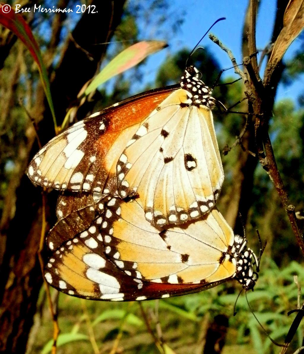 Lesser Wanderer Butterflies Mating by BreeSpawn