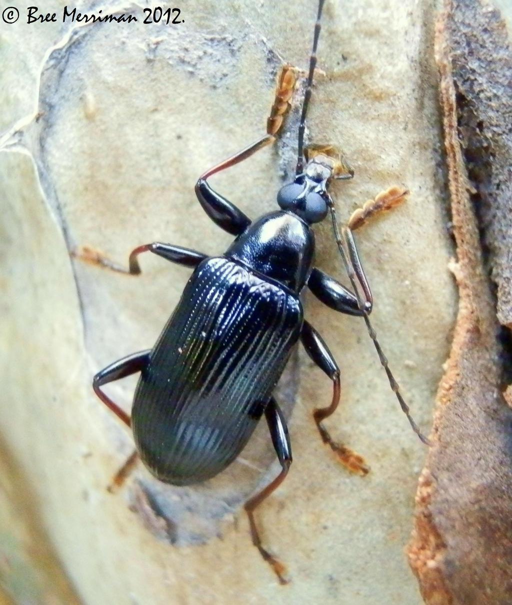 Blister Beetle by BreeSpawn