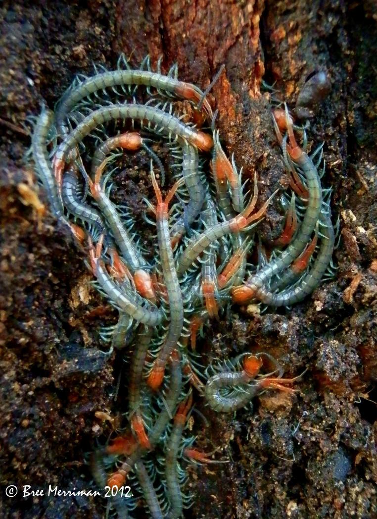 Baby Centipedes by BreeSpawn
