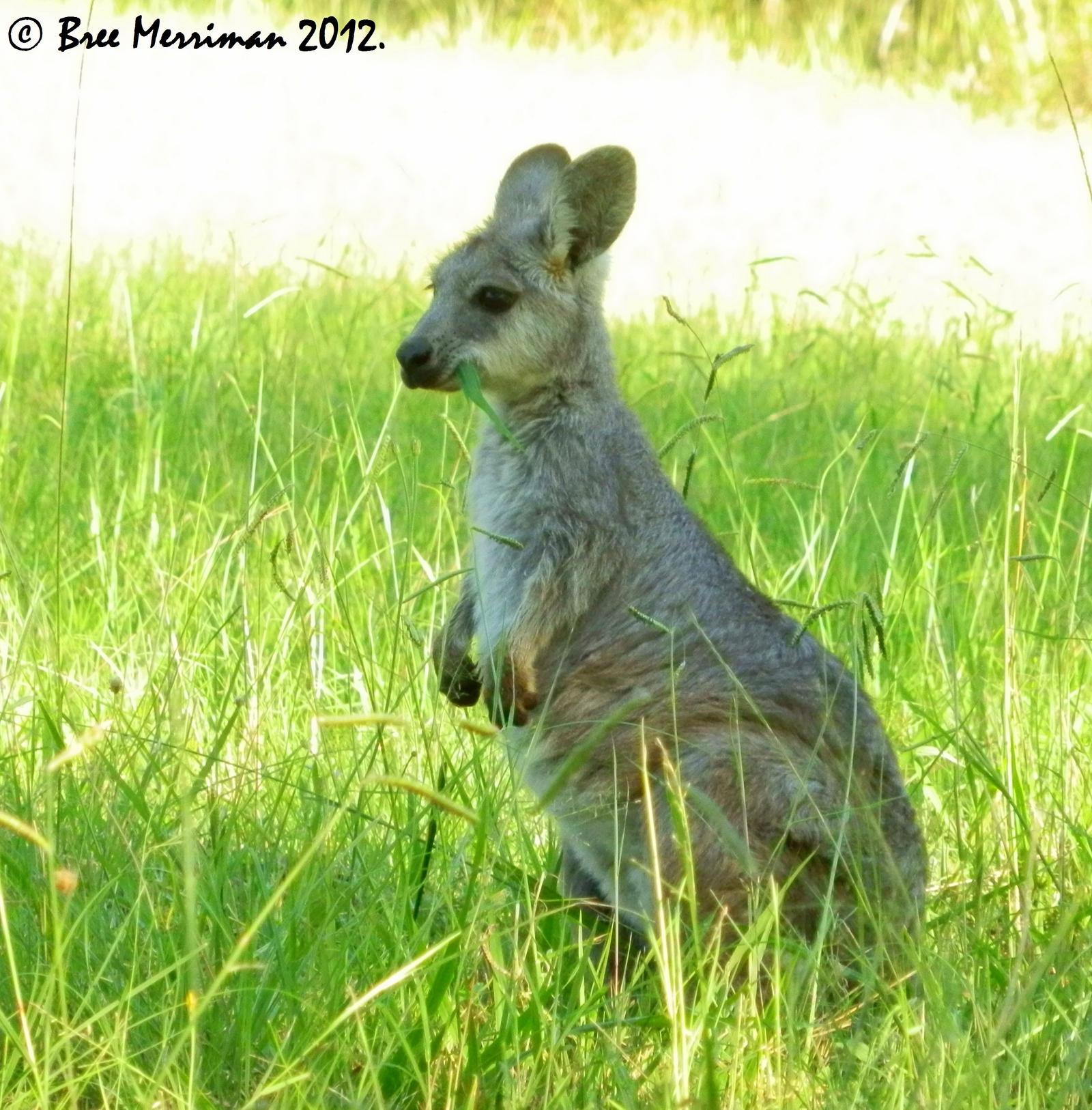 Baby Eastern Wallaroo by BreeSpawn