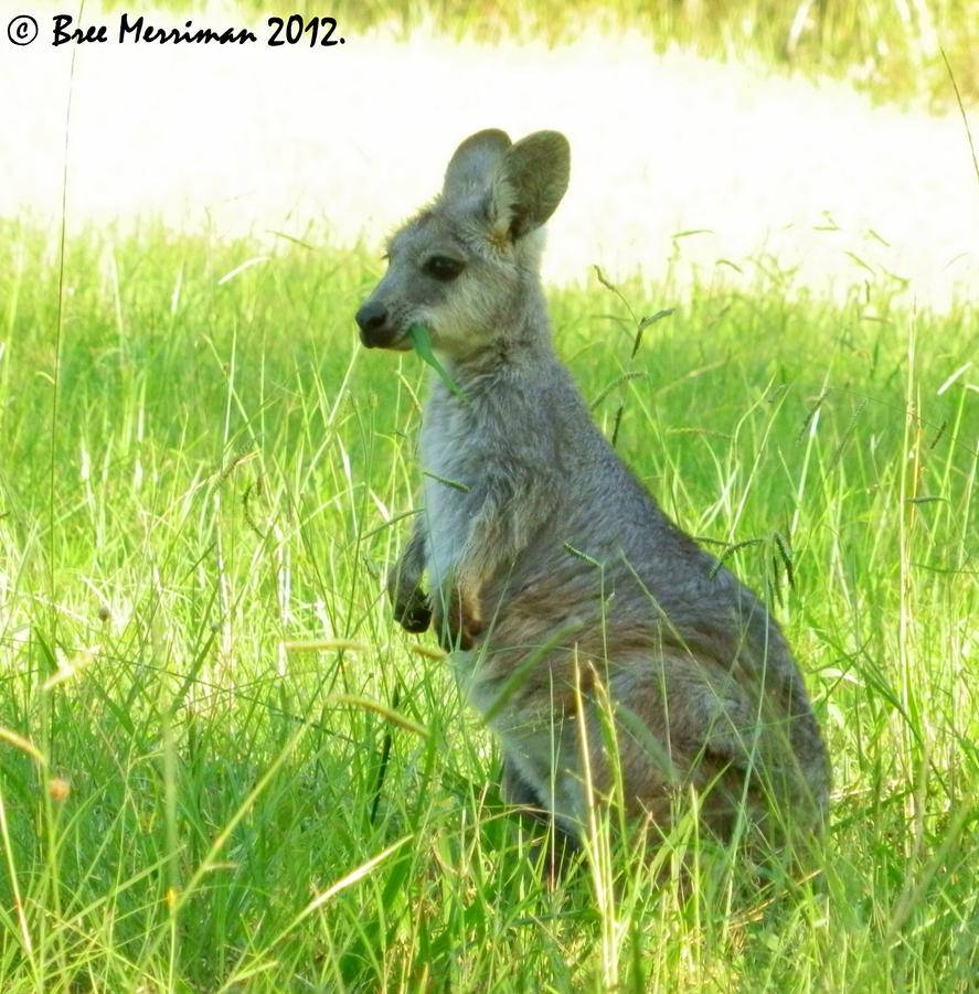 wallaroo - photo #30