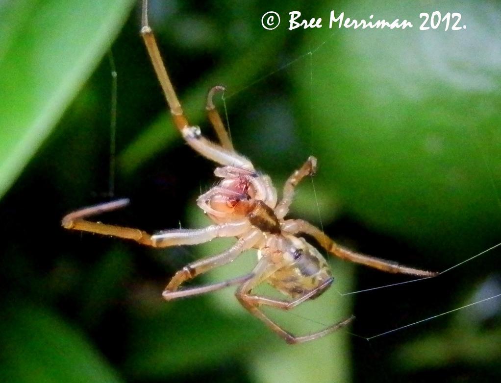 Leaf Curling Spider by BreeSpawn