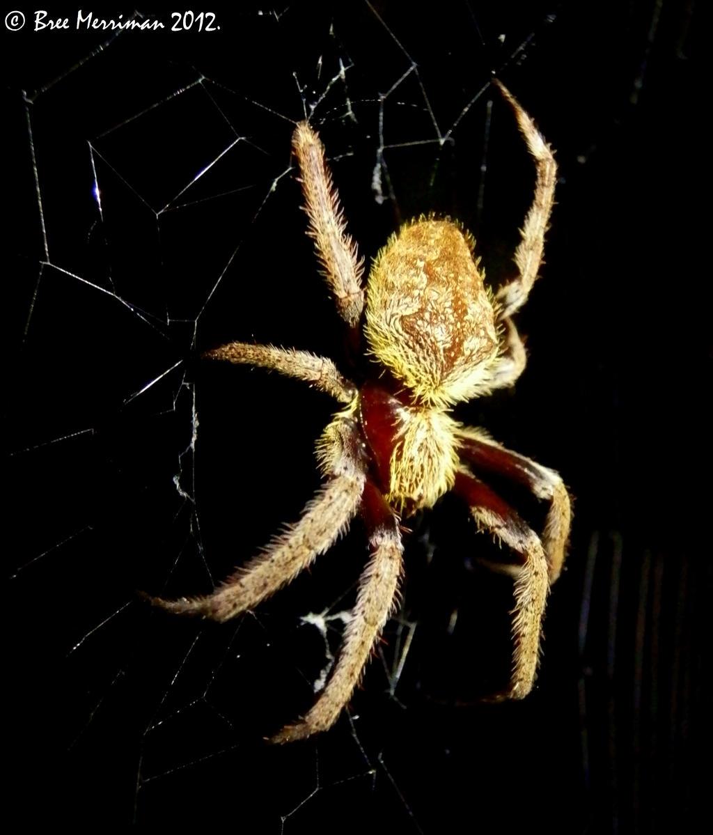 Garden Orb Weaver Spider by BreeSpawn