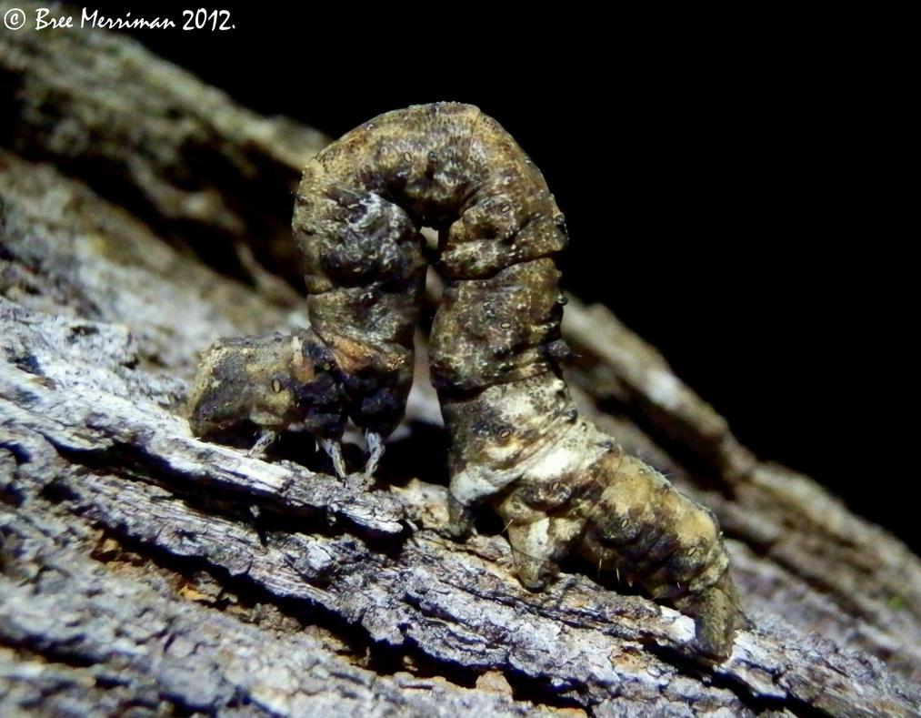 Moth Caterpillar by BreeSpawn