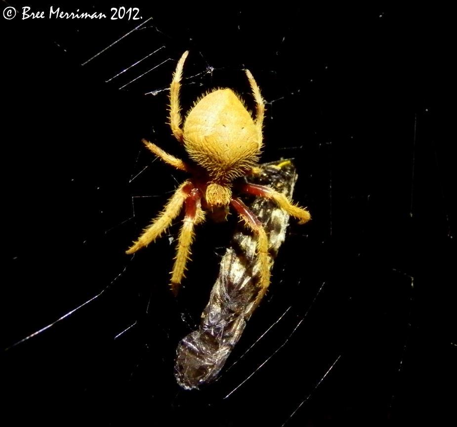 Garden Orb Weaver Spider II by BreeSpawn