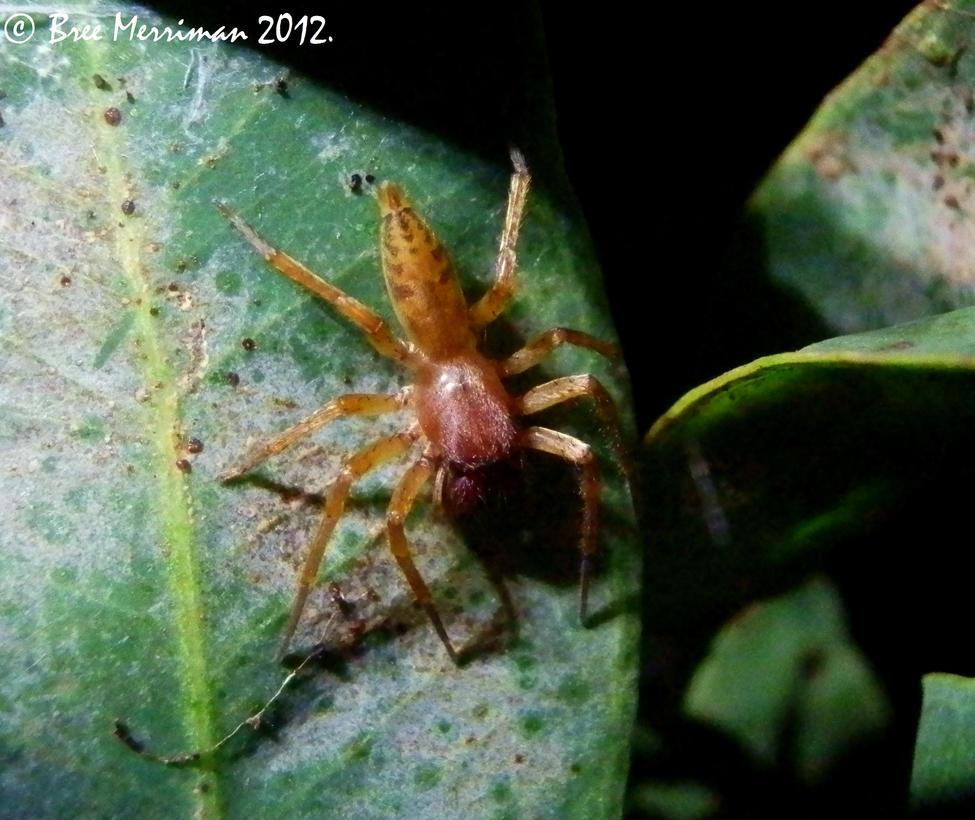 Leaf Spider by BreeSpawn