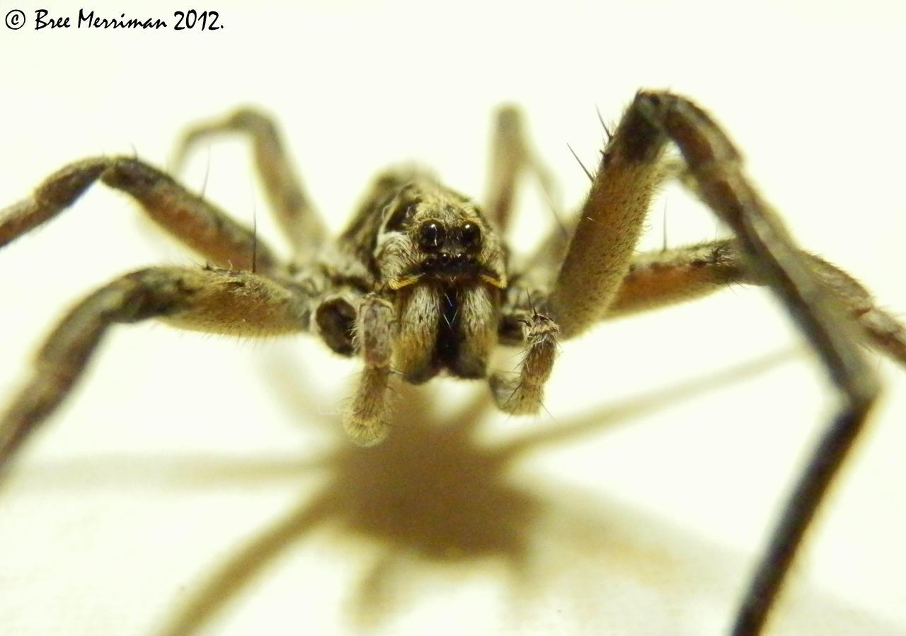 Wolf Spider by BreeSpawn