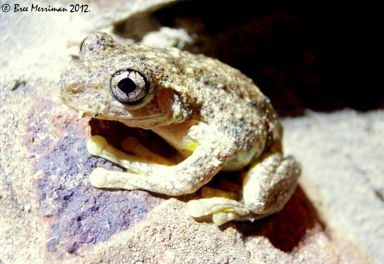 Peron's Tree Frog II by BreeSpawn