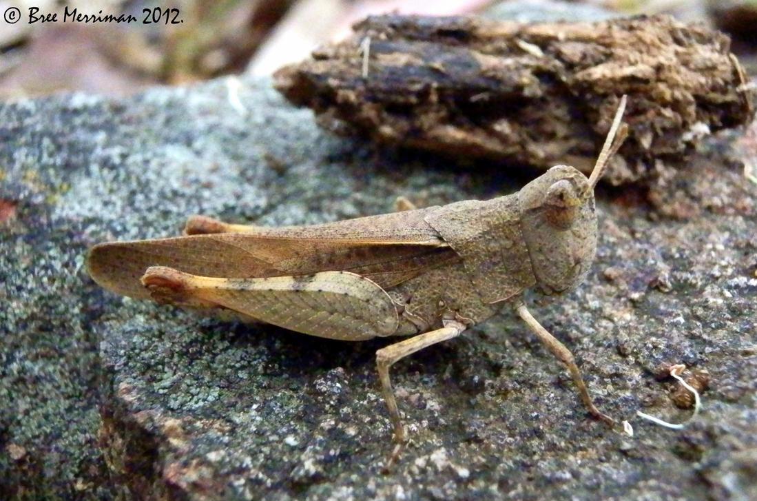 Gumleaf Grasshopper by BreeSpawn