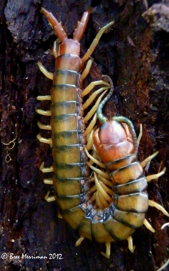 Orange-footed Centipede by BreeSpawn