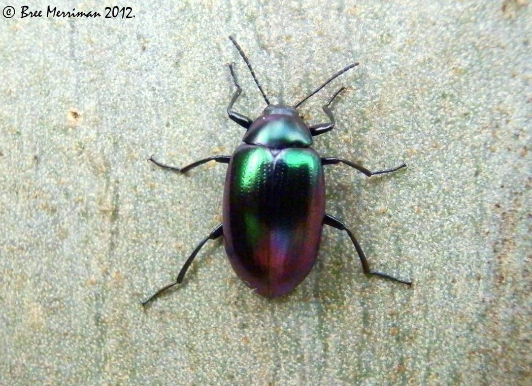 Darkling Beetle by BreeSpawn