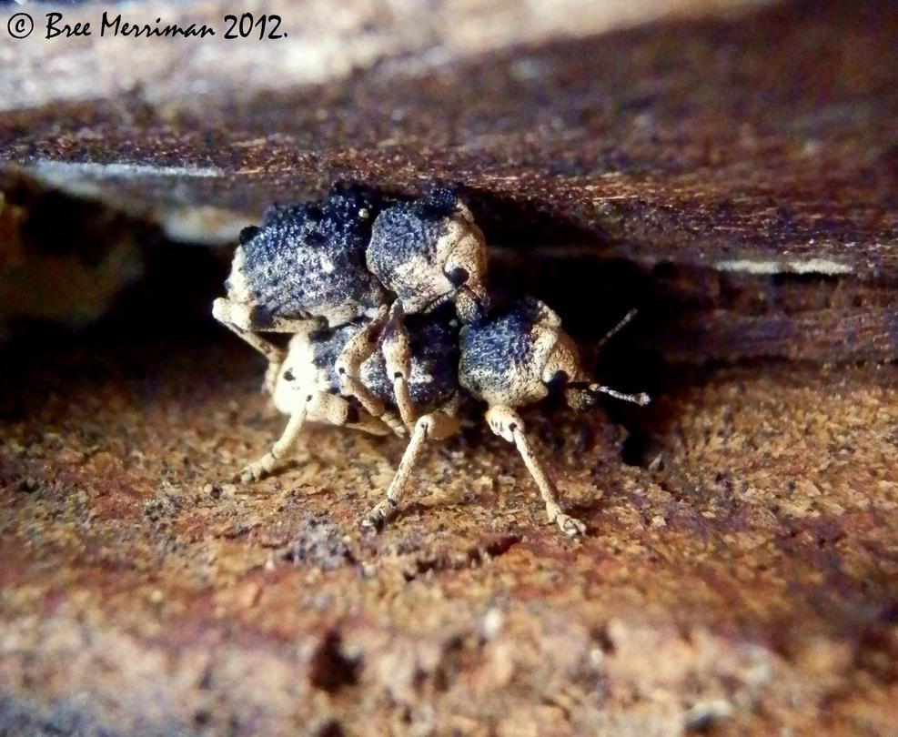 Weevils by BreeSpawn