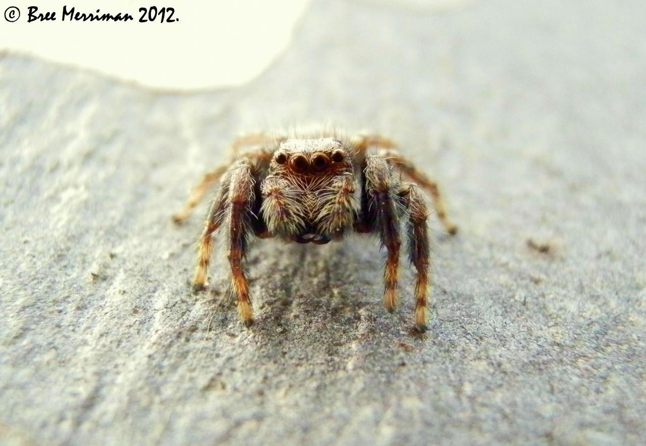 Jumping Spider II by BreeSpawn
